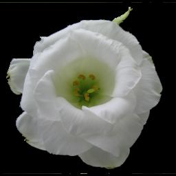 Wild Rose White 1 icon