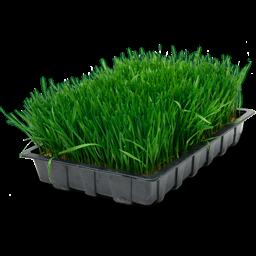 wheatgrass tray icon
